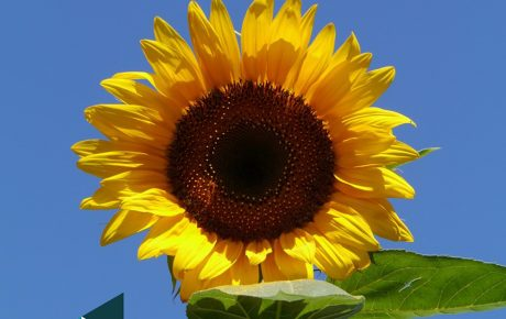 Sunflowers for Spectrum